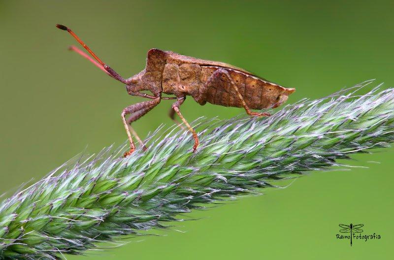 Coreus marginatus-Wtyk straszyk, Straszyk szczawiowiec.photo preview