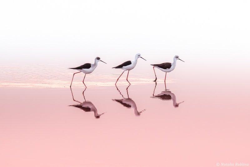ходулочники,птицы,животные,природа,отражение,минимализм,зеркало,трио,момент Трио...photo preview