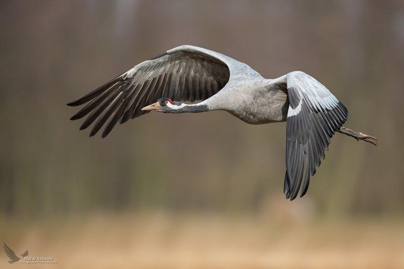 birds, nature, animals, wildlife, colors, meadow, flight, crane, nikon, nikkor, lens, lubuskie, poland Żuraw, Common Crane (Grus grus) ... 2020rphoto preview