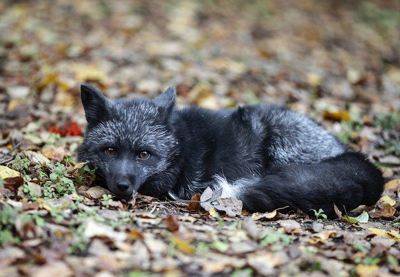 Лиса, чернобурая, животное, красота,осень, настроение Осеннее настроениеphoto preview