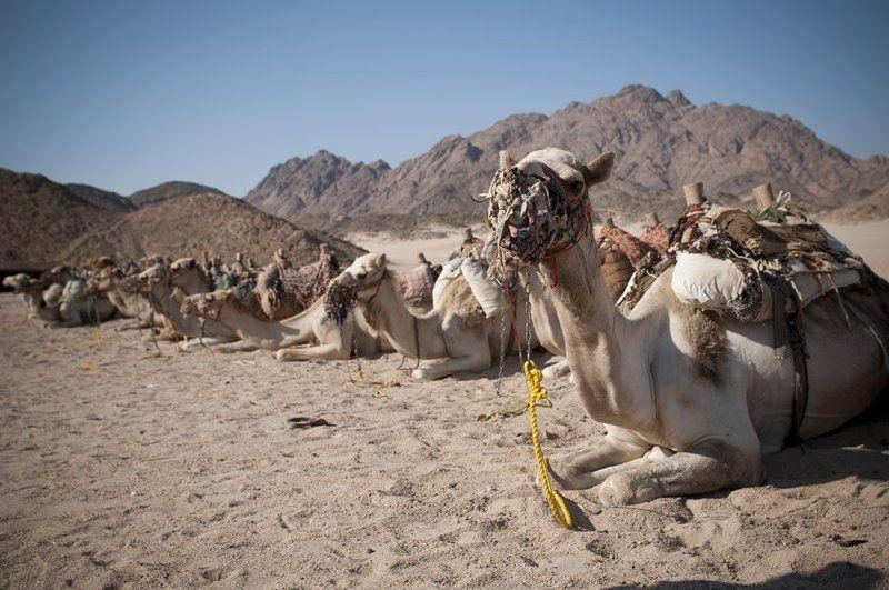 верблюд, египет Привалphoto preview