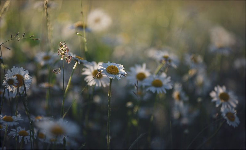 daisies in the morning light...photo preview