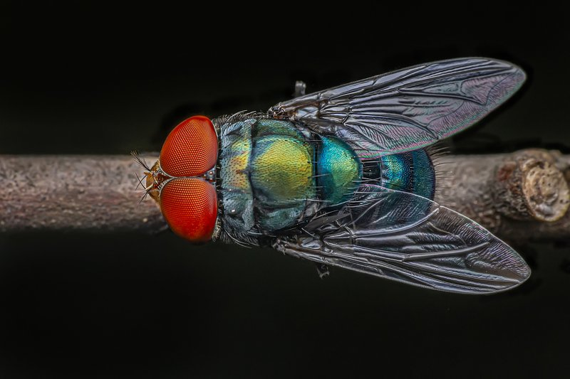 calliphoridae, garden, outdoor, macro, beauty, beautiful, red, color, blue, macro, close up, animal, insect, eyes, fly, wings Macro of a calliphoridae (fly)photo preview
