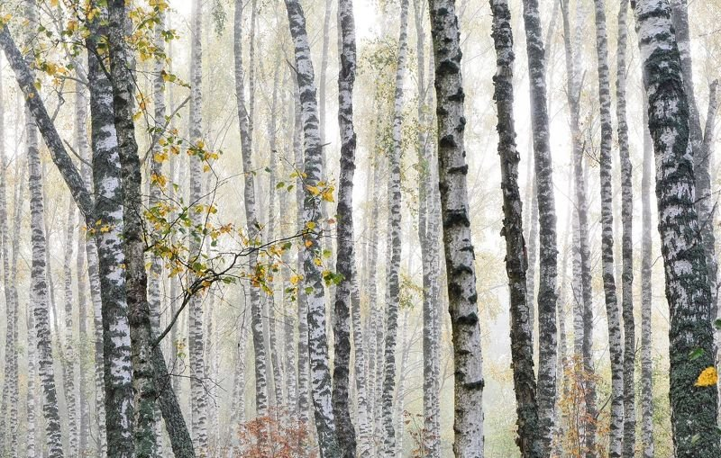 туман, березовая роща, туман в лесу Берёзовый туманphoto preview