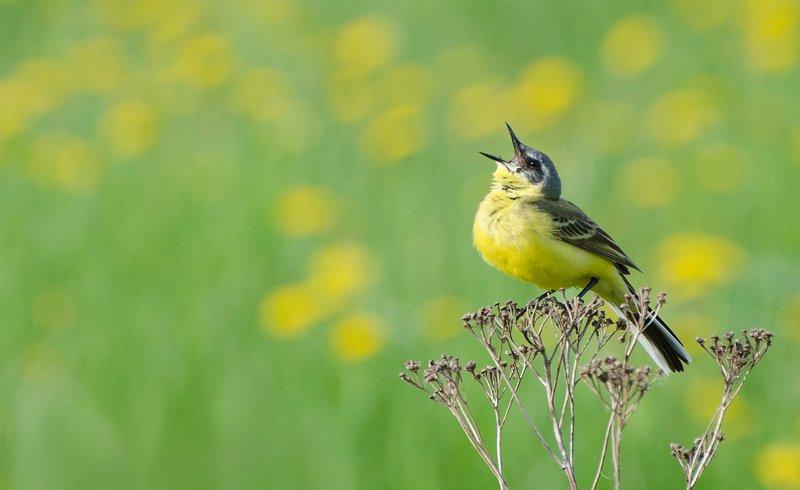 птица, жёлтая трясогузка Высокая нотаphoto preview
