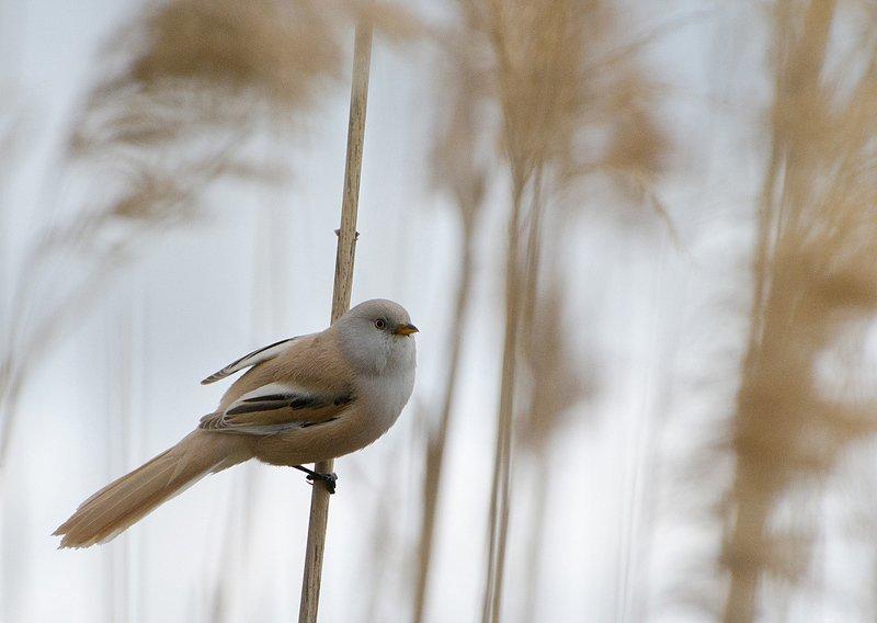 птица, самка усатой синицы Королева тростниковphoto preview