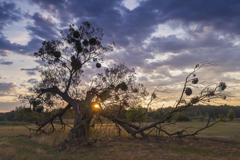 дерево,рассвет,композиция,фотография,искусство,свет,украина,гадяч,сергей корнев,пейзаж,природа На рассветеphoto preview