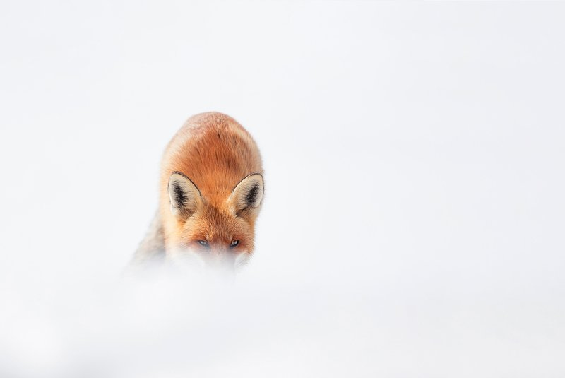 winter, wild, blizzard, snow, wildlife, travel, nature, mountain, romania, cold, fox Redphoto preview