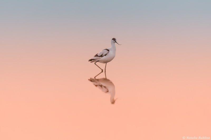 шилоклювка,птицы,животные ,птица,природа,отражение,минимализм Шилоклювкаphoto preview
