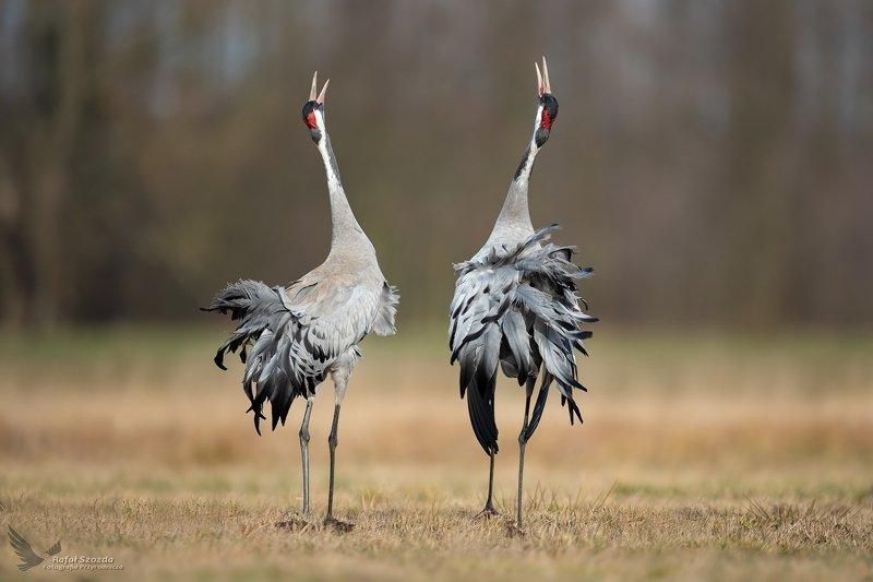 crane, birds, nature, animals, wildlife, colors, love, meadow, nikon, nikkor, lens, lubuskie, winter Zalotne Żurawie, Common Crane (Grus grus) ... 2020rphoto preview