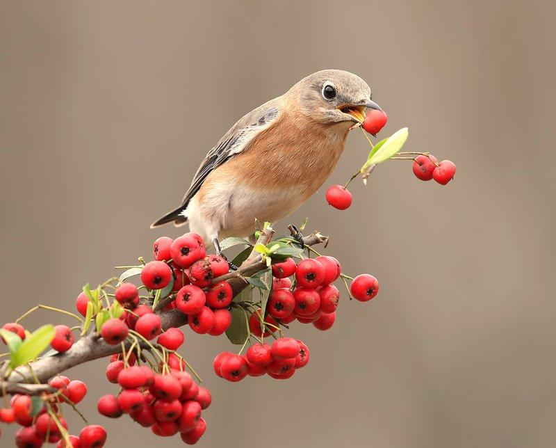 восточная сиалия, eastern bluebird,bluebird Любительница ягод. Восточная сиалия. самка.photo preview
