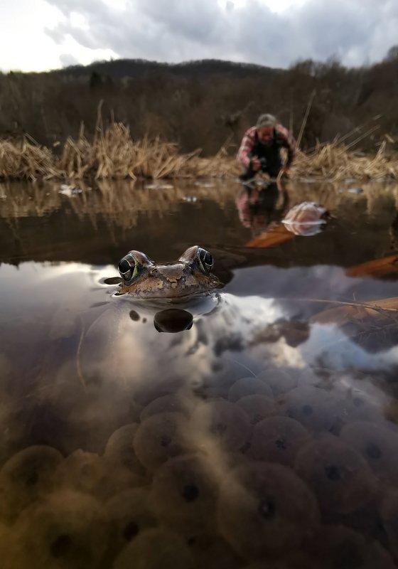Начало сезона - травяная лягушка (Rana temporaria)photo preview