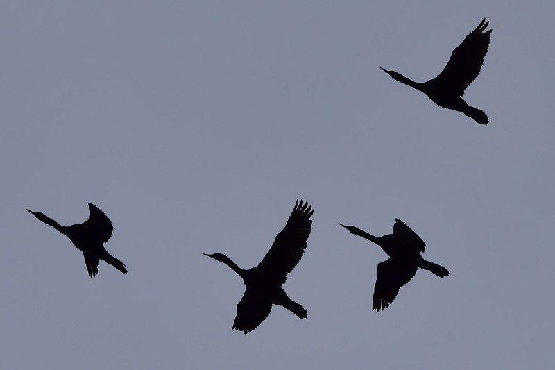 птицы, фото полет, камчатка Полетphoto preview
