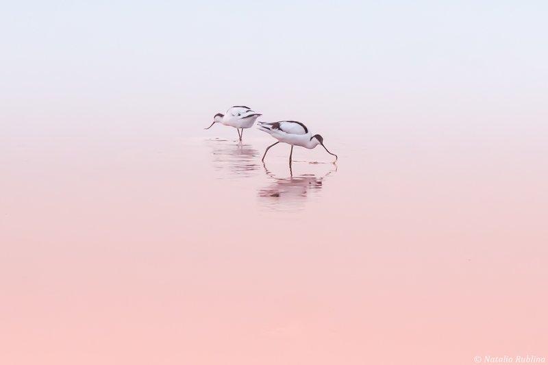 шилоклювки,птицы,животные ,птица,природа,отражение,минимализм,розовый,утро,озеро,рассвет Шилоклювкиphoto preview
