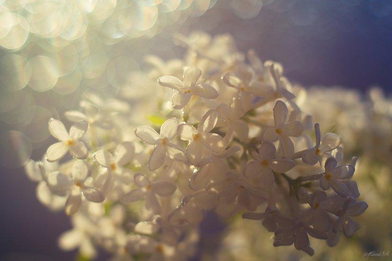 весна, белая, сирень, капли, боке Дыхание весныphoto preview