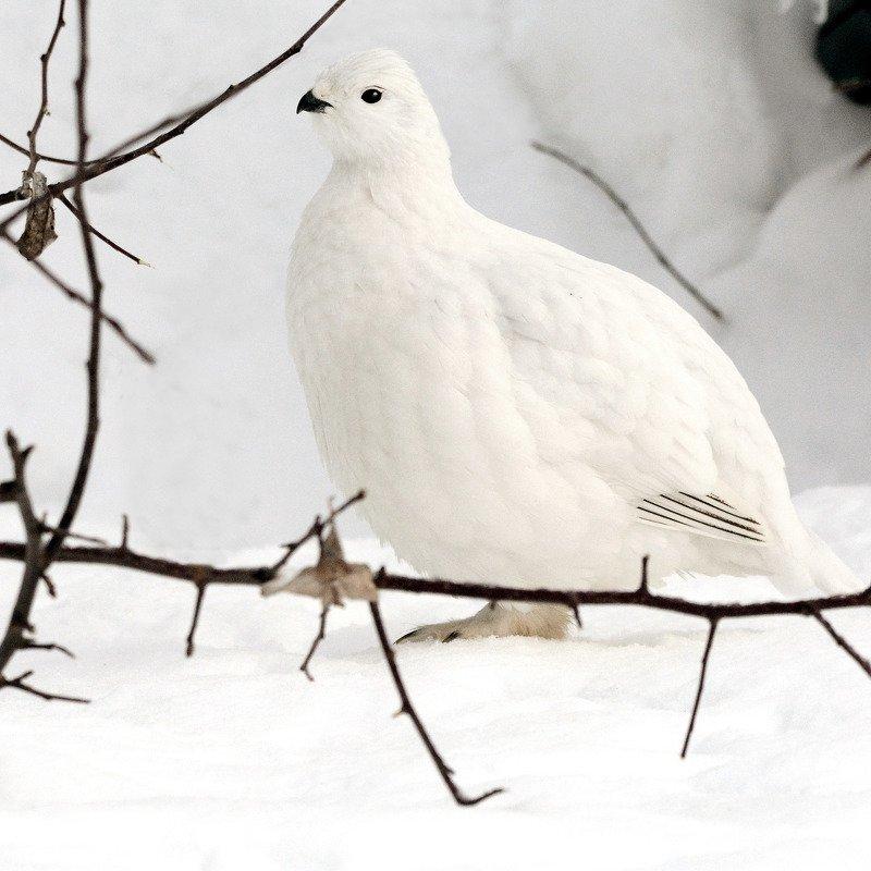 В зимнем пере.photo preview