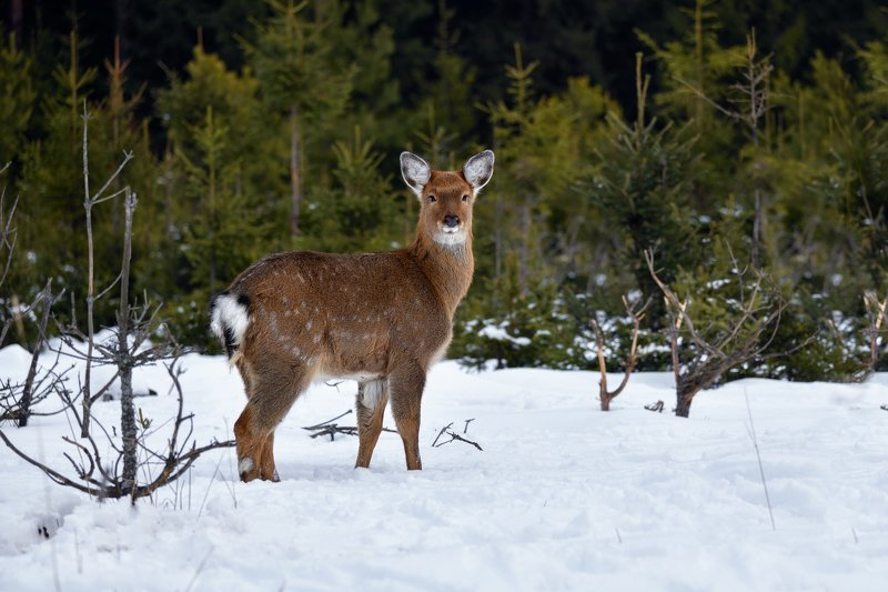 зима,лес,олень снимай же,а то убегу!photo preview
