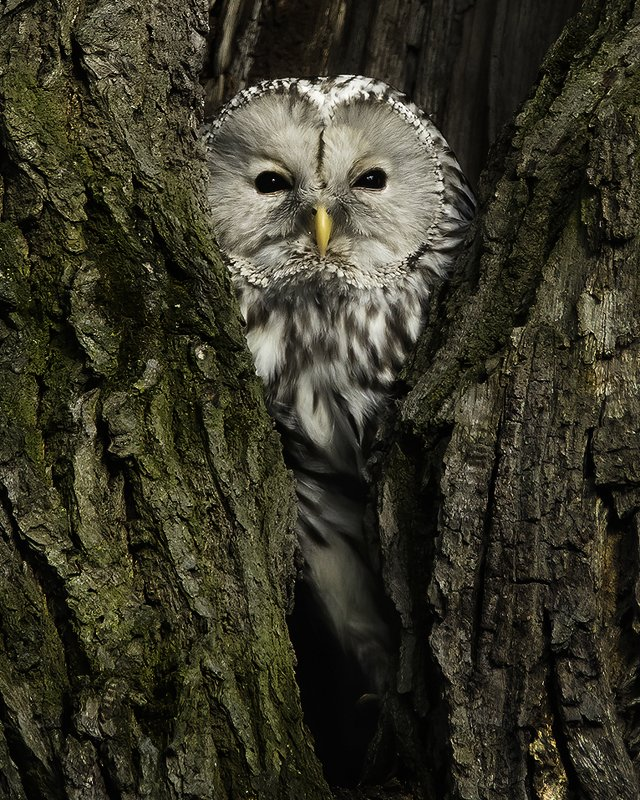птица, сова, неясыть, лес, дупло Длиннохвостая неясытьphoto preview