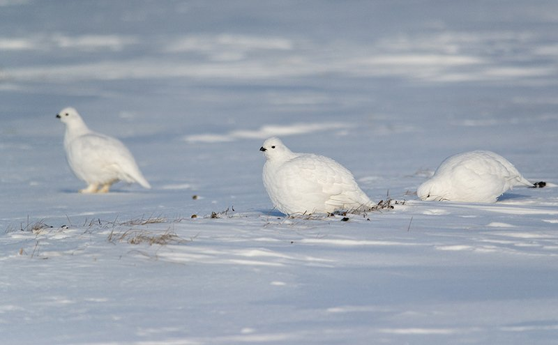 север, арктика ,чукотка, куропатка белая Беленькие курочки в валенках...photo preview