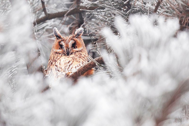 winter, trees, blizzard, snow, wildlife, travel, nature, bird, romania, cold, owl Now you see mephoto preview