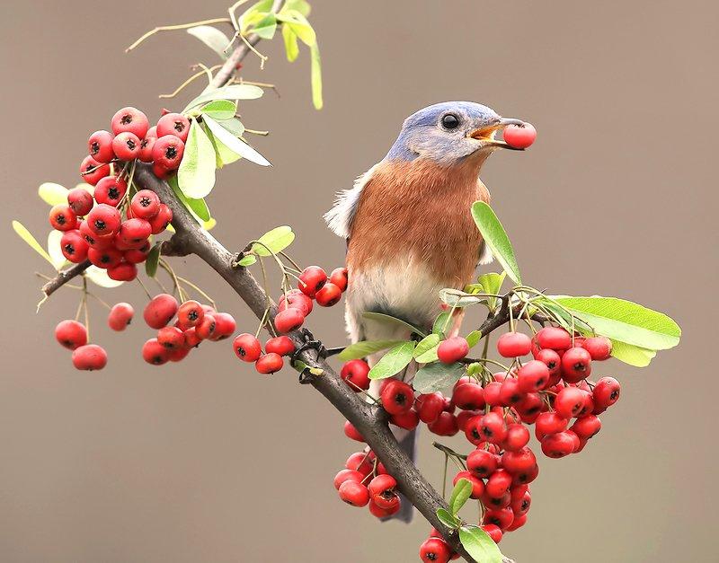 восточная сиалия, eastern bluebird,bluebird Любитель ягод. Восточная сиалия. самецphoto preview