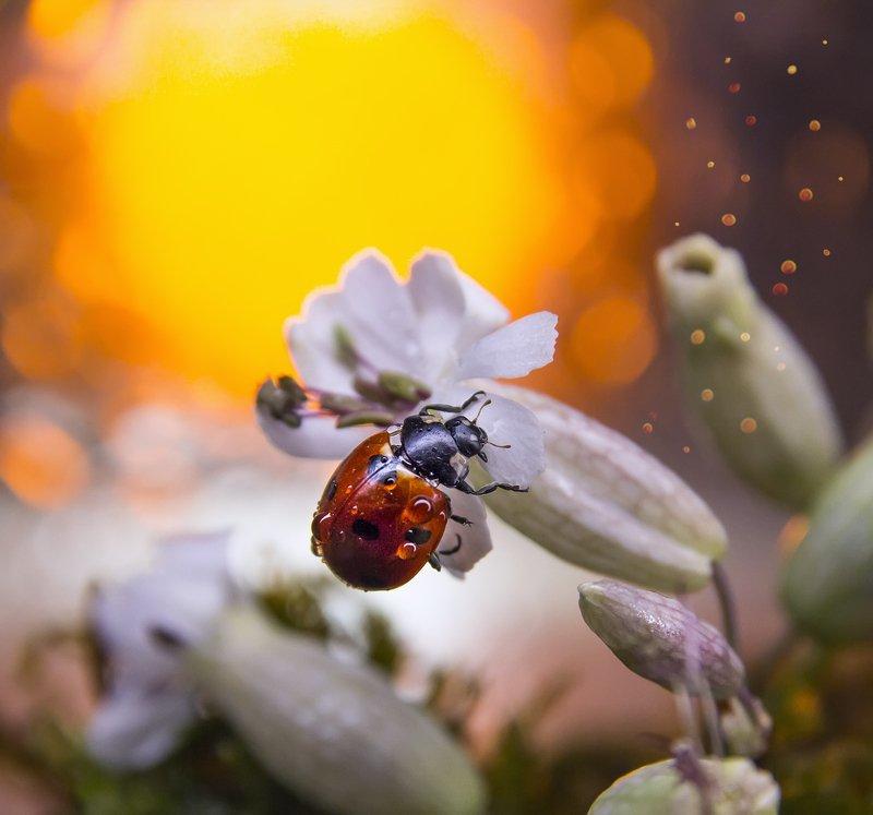 коровка, макро, боке, цветы, брызги, вода, закат, солнце, цветок, трава, сказка, любопытство, лето Коровка в сказкеphoto preview