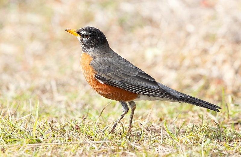 странствующий дрозд, american robin, дрозд Странствующий Дрозд - American Robinphoto preview