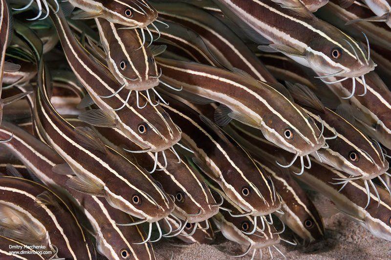 catfish,сомики,рыбы,underwater Усатые-полосатыеphoto preview
