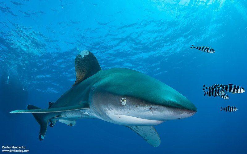 лонгиманус,акула,shark,longimanus,океаническая белоперая ***photo preview