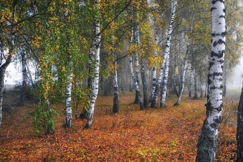 береза, туман, осень, осенний лес, осенний пейзаж Осенний вальс в березовой рощеphoto preview