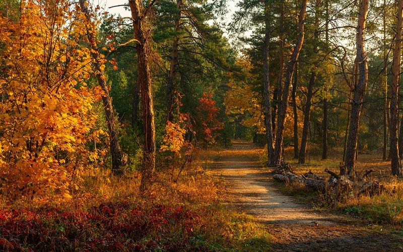 landscape, пейзаж, утро, лес, сосны, деревья, солнечный свет,  солнце, природа, солнечные лучи,  прогулка, осенними дорожкамиphoto preview