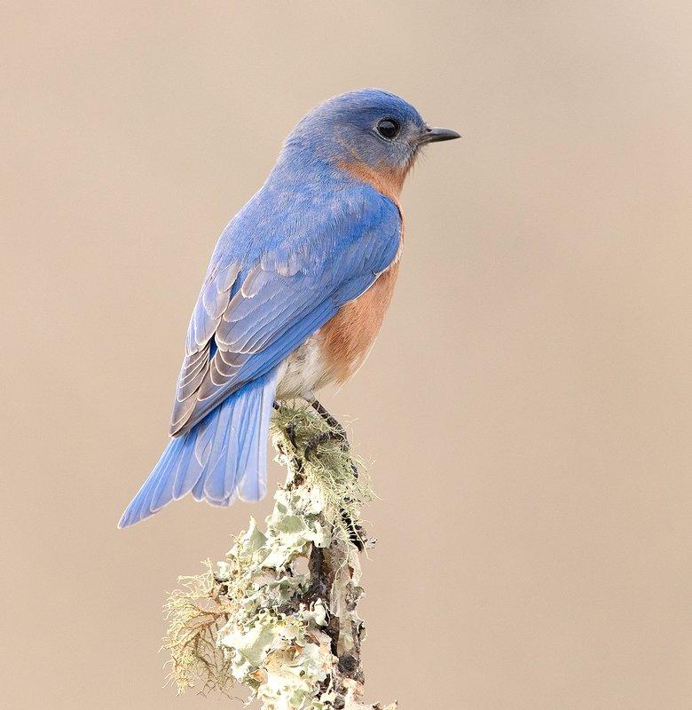 восточная сиалия, eastern bluebird,bluebird Eastern Bluebird male. Восточная сиалия самец.photo preview