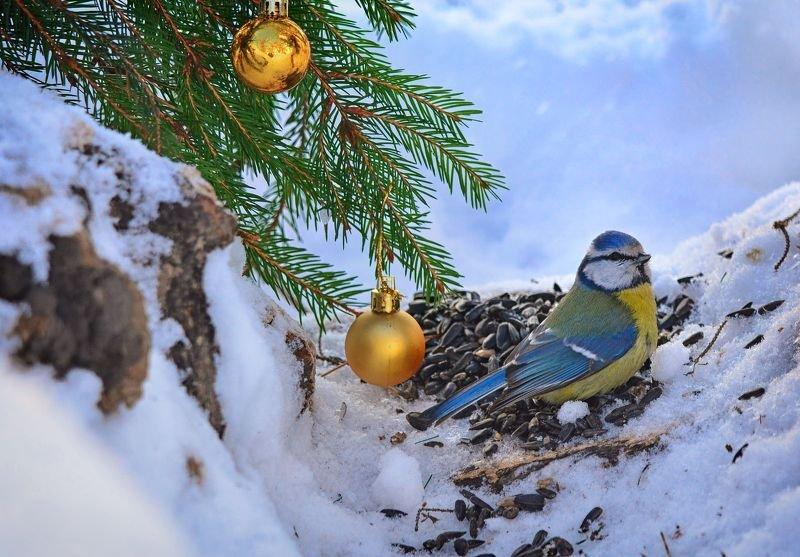 лазоревка, птицы, дикая природа Лазоревка новогодняяphoto preview