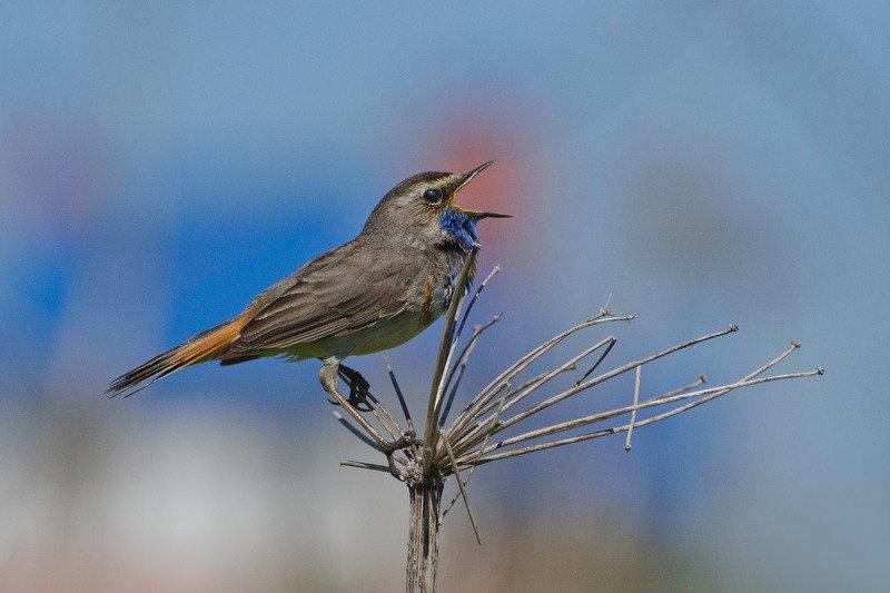 птица, варакушка, самец Певец весныphoto preview