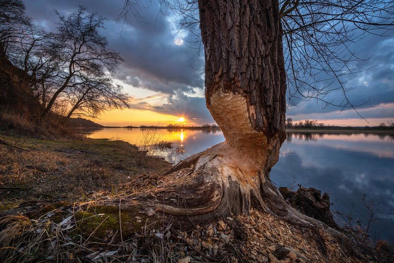 beavers бобры nationalpark unteres odertal river water tree sky sun sunlight park sunset Nationalpark Unteres Odertalphoto preview