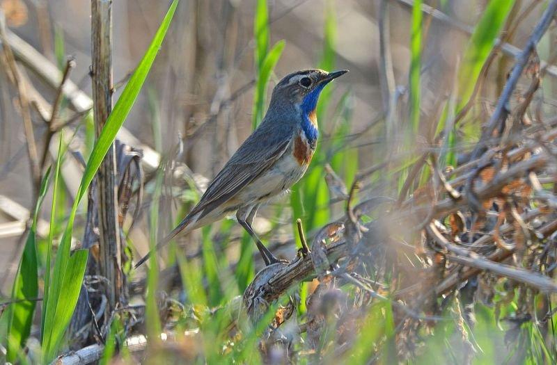 птицы, варакушка, birdwatching, дикая природа Варакушкаphoto preview
