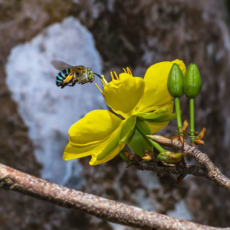 Bea, yellow, green, flower, spring, bloom, macro, close up, beautiful, outdoor, fly Bee flying to flower on Springphoto preview