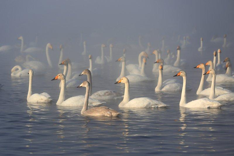 Алтайская зимовка лебеди озеро  Алтайская зимовкаphoto preview