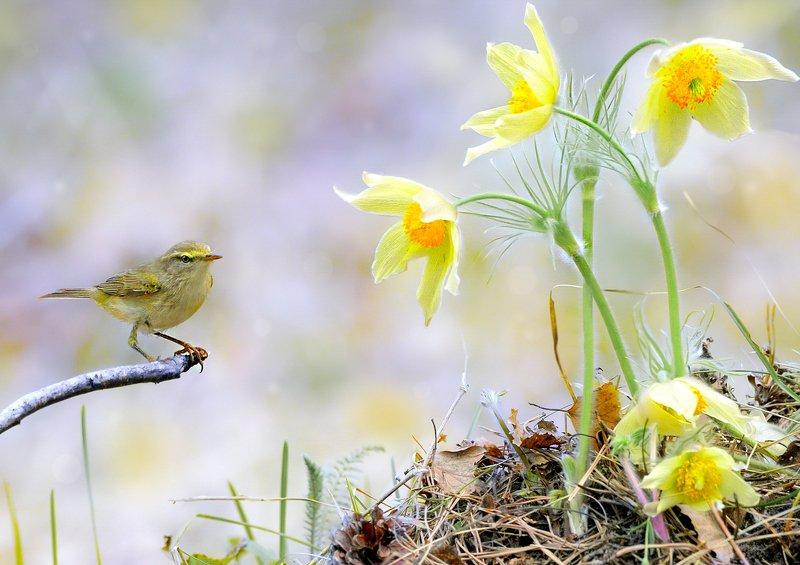 природа, фотоохота,  птицы, животные, весна, пеночка весничка С Праздником Весны!!!photo preview