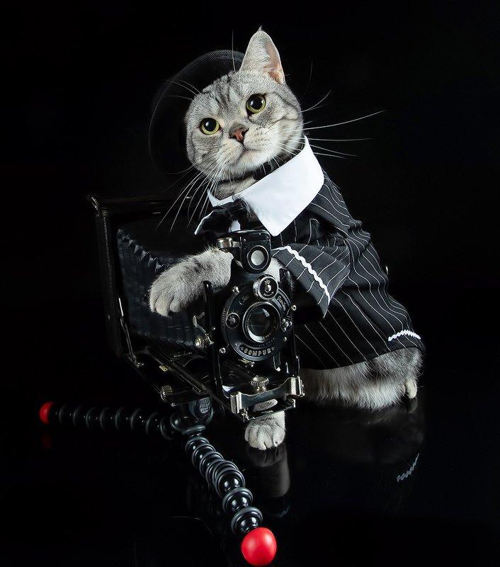 сat, кошка, животные, кошки,американский короткошерстный кот, american shorthair cat Маркиз - Фотографphoto preview