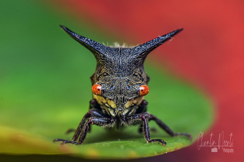 potrait, insect, macro, close up, red eyes, small, beauty, beautiful, outdoor, garden, leaf, nature, natural Potrait of Tree hopperphoto preview