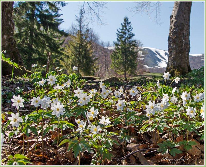 весна, горы, карпаты, боржава, первоцветы Первоцветыphoto preview
