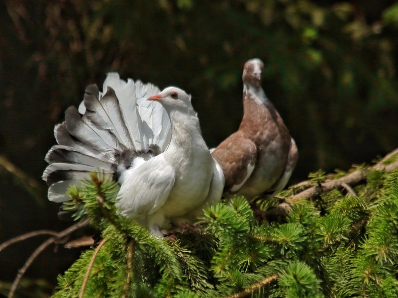 Fantail pigeonphoto preview