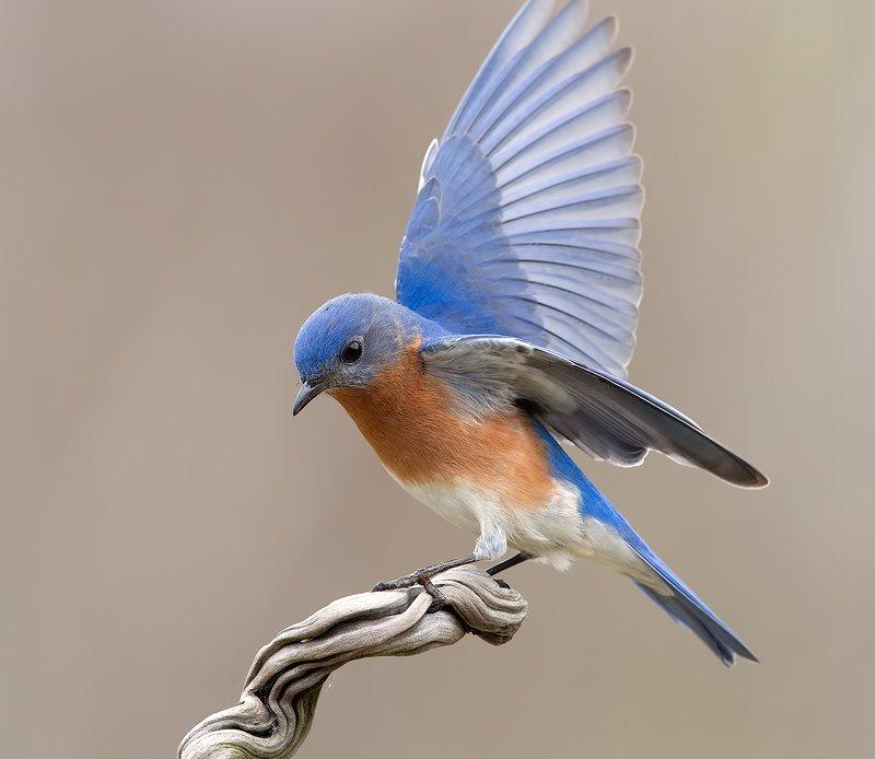 восточная сиалия, eastern bluebird,bluebird Восточная сиалия cамец - Eastern Bluebird malephoto preview