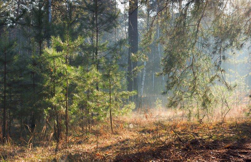лес, весна, март, утро, рассвет, лучи, туман, испарина Под сенью сосен вековыхphoto preview