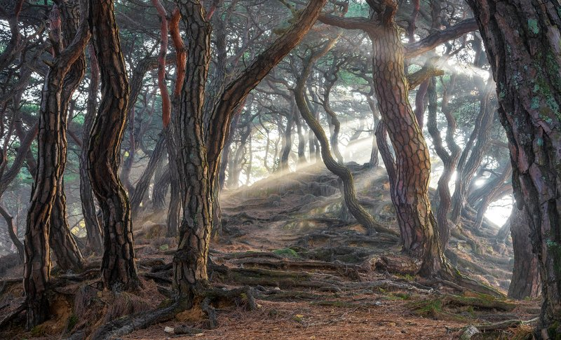 pine, forest, light, woods, roots, nature, tiger skin, trees, trunks, snake Sacred pine forestphoto preview