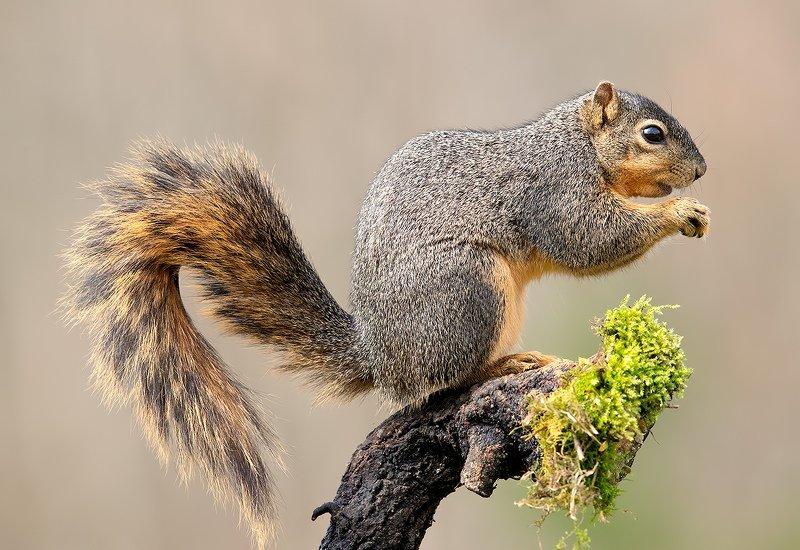 белка, squirrel, лисья белка, fox squirrel, животные, animal, Лисья Белка -Fox Squirrelphoto preview