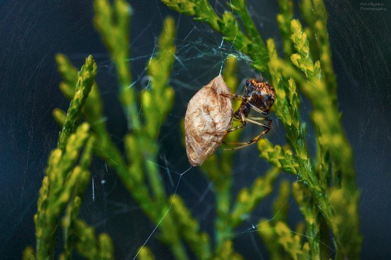 макро, природа, растения, паутина, паук, кокон, macro, nature, plants, spider web, spider, cocoon Колыбель жизниphoto preview