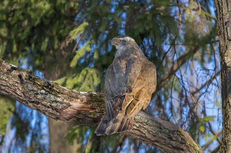 птица, ястреб, лес, ель Короткий отдыхphoto preview