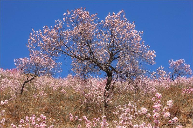 забайкальский край Цветение дикого абрикосаphoto preview